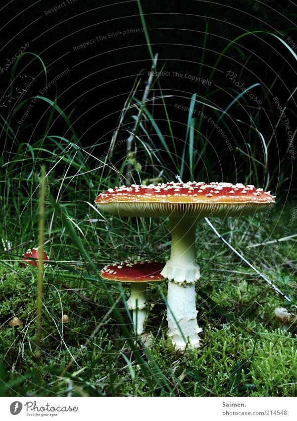 Nature Beautiful Calm Meadow Grass Environment Earth Growth Mushroom Poison Enchanting Spotted Mushroom cap Amanita mushroom Fairytale landscape