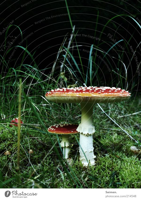 Nature Beautiful Calm Meadow Grass Environment Earth Growth Mushroom Poison Enchanting Spotted Mushroom cap Amanita mushroom Fairytale landscape