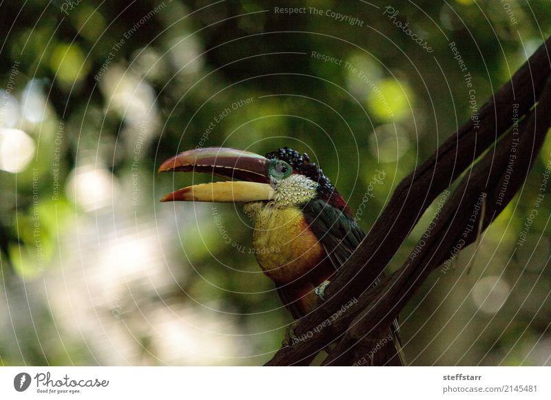 Curl-crested Aracari called Pteroglossus beauharnaesii Blue White Tree Red Animal Forest Yellow Bird Orange Gold Wild animal Virgin forest Beak Bank note