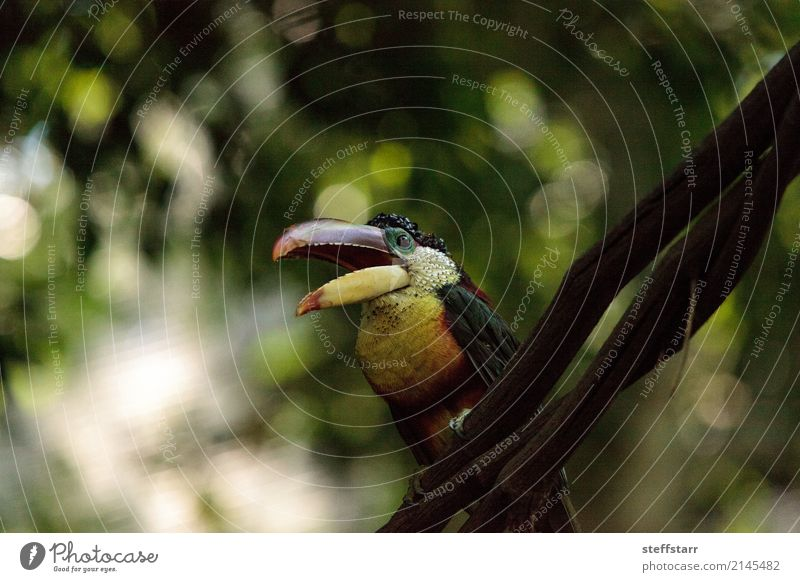 Curl-crested Aracari called Pteroglossus beauharnaesii Green Tree Red Animal Forest Yellow Bird Gold Virgin forest Beak Bank note South America Wild bird Tucans