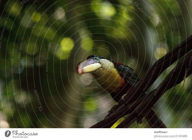 Curl-crested Aracari called Pteroglossus beauharnaesii Blue Green Tree Red Animal Forest Yellow Bird Orange Gold Wild animal Virgin forest Beak Bank note