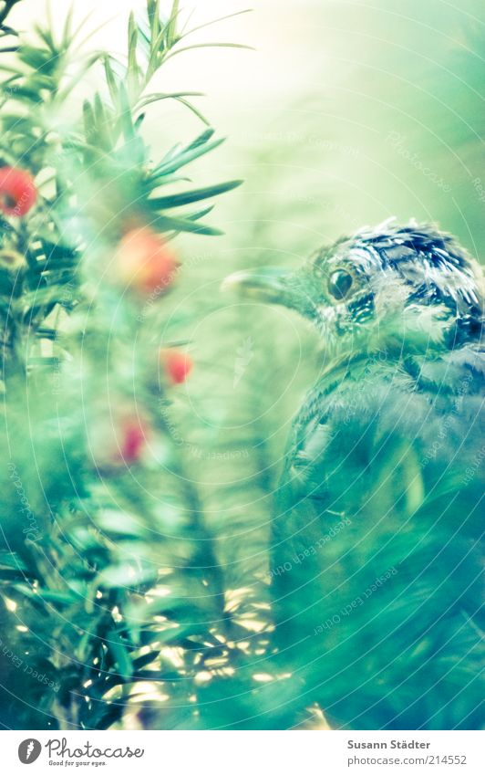 Loneliness Relaxation Dream Sadness Bird Sit Break Fruit Bushes Feather Hide Twig Berries Dawn Hiding place Coniferous trees