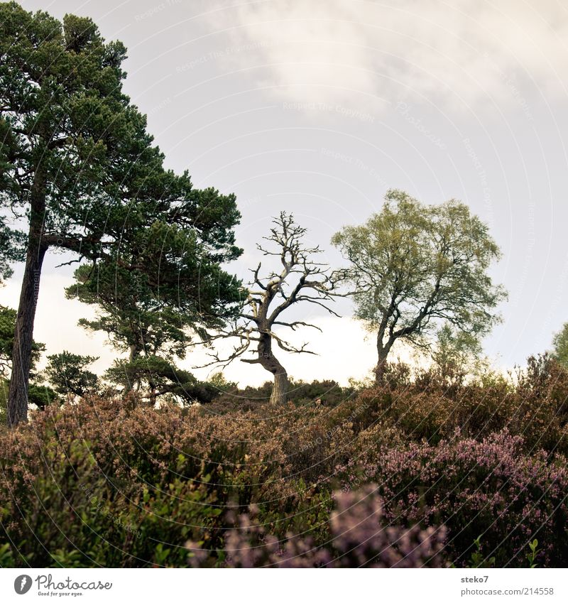 Old Tree Plant Death Landscape Bushes Bleak Faded Pine Sparse Scotland Environment Heathland To dry up