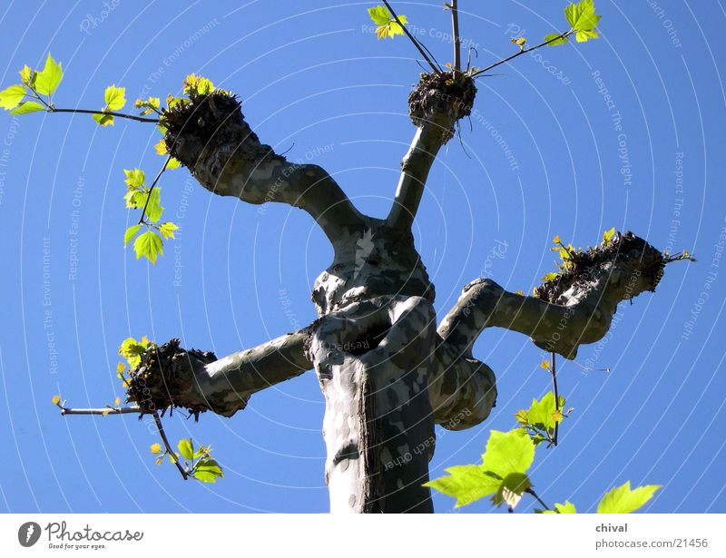 Sky Tree Green Blue Leaf Branch Tree trunk Twig Headstrong American Sycamore