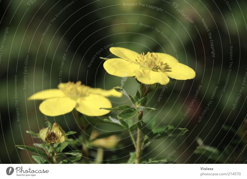 Nature Beautiful Plant Summer Yellow Romance Blossoming Illuminate Beautiful weather Blossom leave Flower stem Potentilla