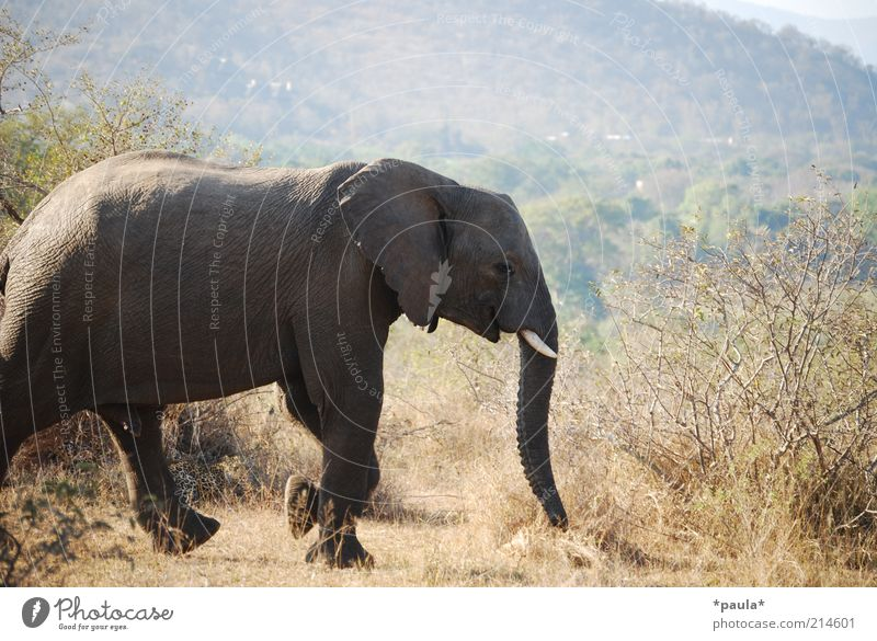 leopard Environment Landscape Beautiful weather Drought Bushes South Africa Animal Wild animal National Park Elephant Panther 2 Observe Walking Lie Wait Free