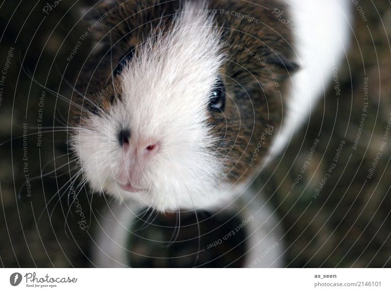 One cucumber please Animal Pet Animal face Pelt Zoo Petting zoo Guinea pig Rodent Whisker Nose 1 Baby animal Looking Authentic Small Natural Curiosity Cute