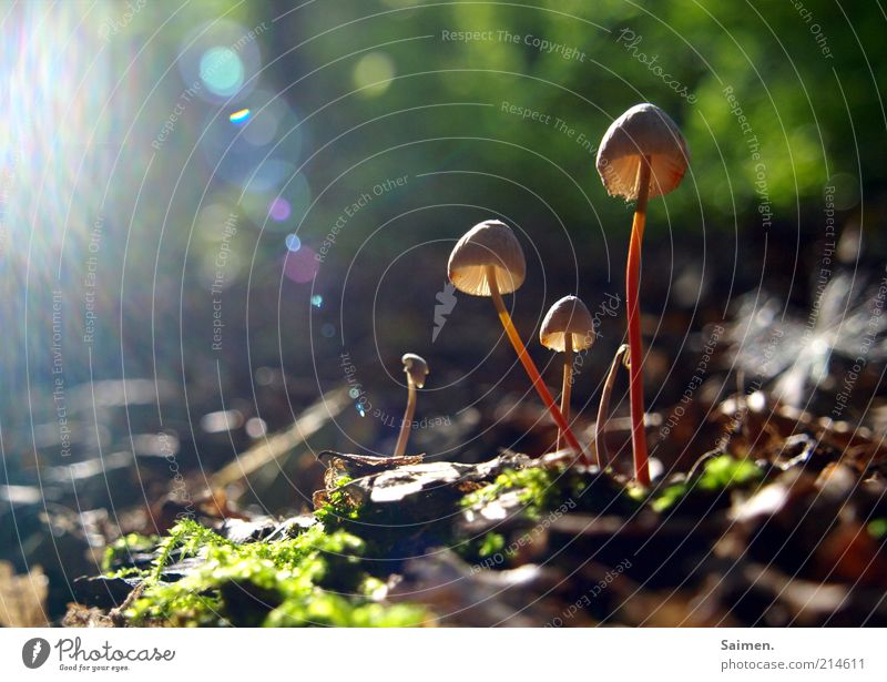 sunlight funghi Environment Nature Plant Forest Exceptional Glittering Natural Beautiful Mushroom Sunbeam Lens flare Woodground Glimmer Moss Leaf Ground Jinxed