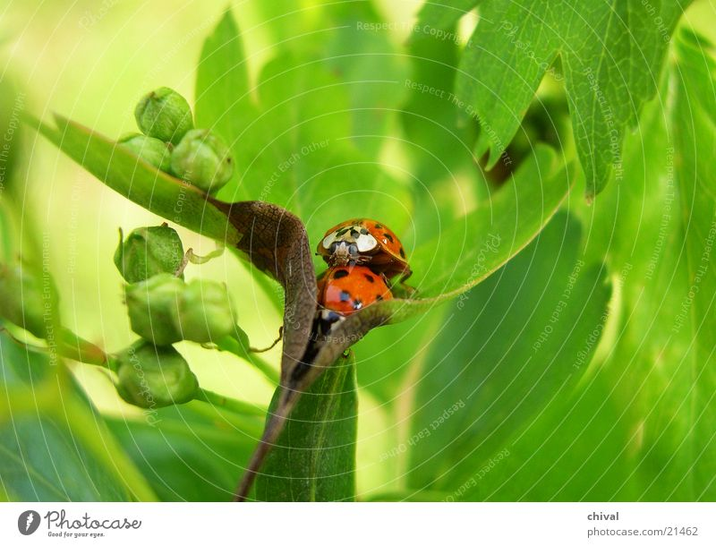 Summer Leaf Pair of animals In pairs Beetle Ladybird Propagation Seven-spot ladybird