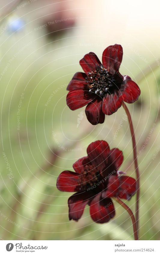 Nature Flower Plant Red Blossom Environment Esthetic Blossoming Flower stalk Velvety Burgundy