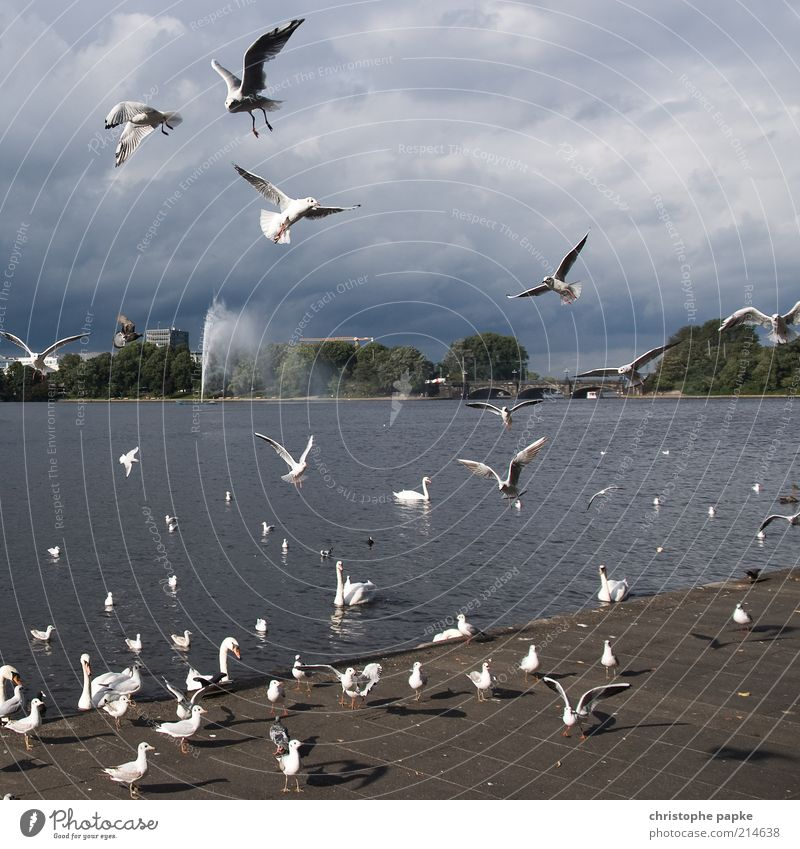 Clouds Lake Bird Flying Hamburg Group of animals Scream Appetite Many Lakeside Downtown Seagull To feed Competition Swan Animal