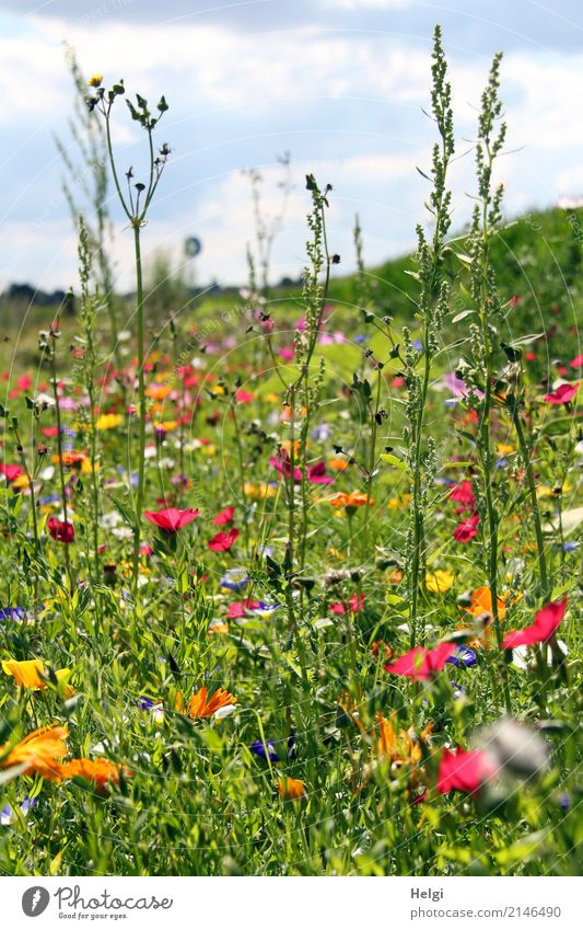 flower meadow in summer with many different flowers and grasses Environment Landscape Plant Sky Clouds Summer Beautiful weather Flower Grass Leaf Blossom Meadow