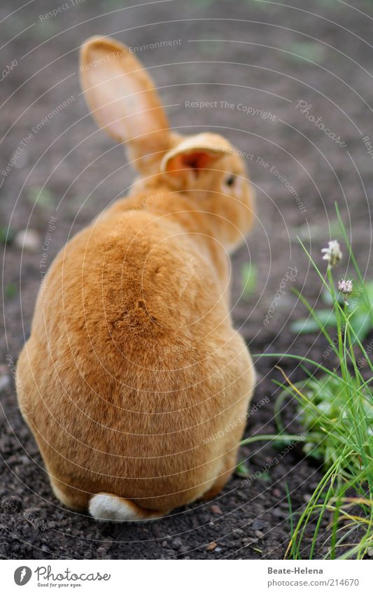Distant Easter dreams Nature Spring Red-haired Hair Animal Farm animal Wild animal Pelt Petting zoo Sign Easter Bunny Crouch Wait Happiness Cuddly Beautiful