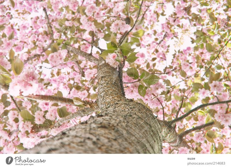 Sky Nature Beautiful Tree Environment Blossom Spring Pink Growth Bushes Esthetic Blossoming Branch Beautiful weather Friendliness Tree trunk