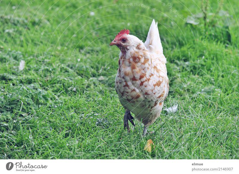 ... I wouldn't have much to do ... Summer Grass Meadow Farm animal Barn fowl pedigree chicken Livestock breeding poultry breeding Crest Dappled chicken terrace