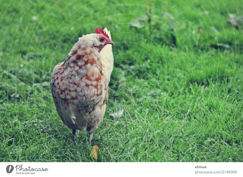 ... and on Sundays even two ... Summer Grass Barn fowl Dappled Crest Wing chicken terrace purebred poultry Livestock breeding Observe Stand Happy Beautiful