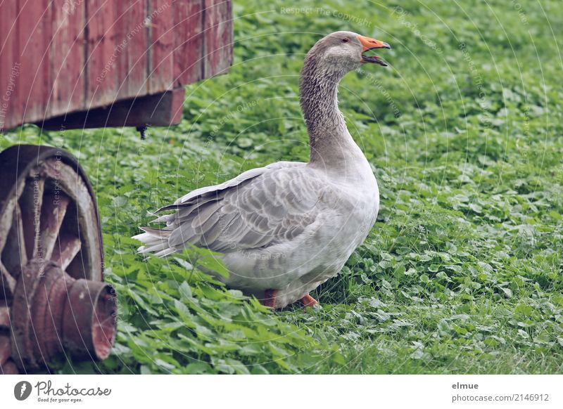 Jolanda has release (1) Summer Pet Wing Goose Movement Walking Looking Scream Aggression Threat Smart Gray Joie de vivre (Vitality) Romance Watchfulness