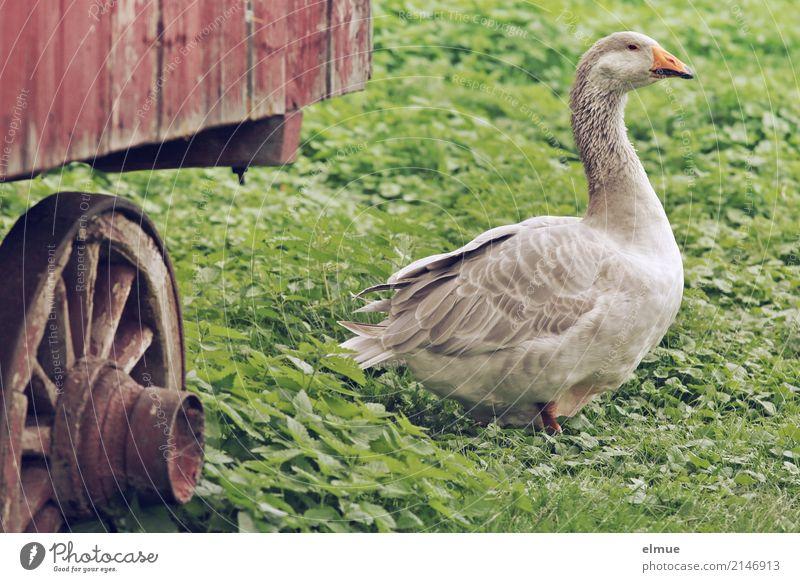 Jolanda has release (2) Summer Grass Farm animal Goose pomeranian goose Poultry Observe Looking Elegant Gray Happy Contentment Joie de vivre (Vitality) Poverty