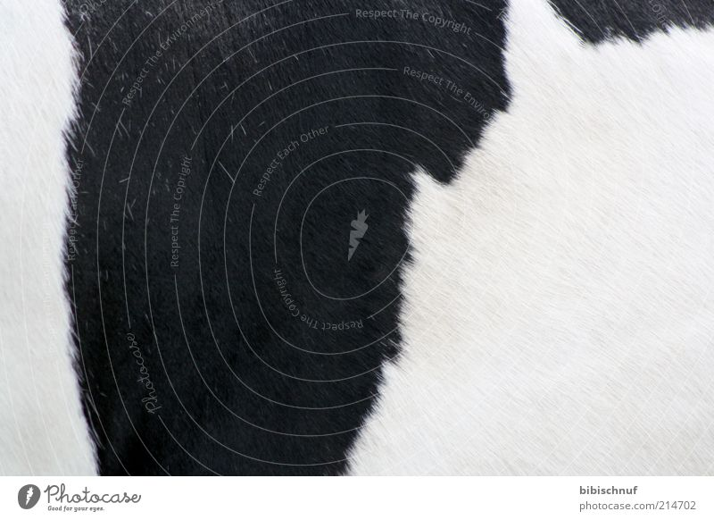 Fur of a cow in black and white Animal Farm animal Cow 1 Beautiful Warmth Black White Colour photo Exterior shot Detail Deserted Day Animal portrait Pelt