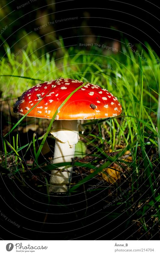 Under birch Senses Nature Sunlight Autumn Point Illuminate Beautiful Wild Multicoloured Yellow Green Red White Moody Amanita mushroom Mushroom cap Poison Grass