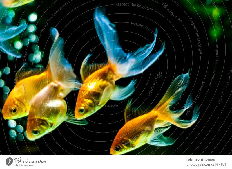 Goldfishes swimming downwards Animal Pet Fish Aquarium Beautiful Relaxation Freedom Leisure and hobbies Joy Friendship Happy Colour photo Deserted Front view