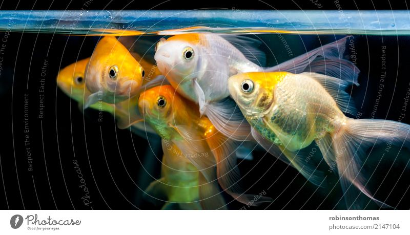 Gold fishes grouped together in fresh water aquarium Nature Plant Animal Pet Fish Aquarium Group of animals Movement Wait Friendliness Happiness Red Black White