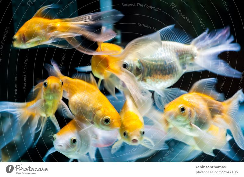 Gold fishes in fresh water aquarium tank Beautiful Nature Animal Pet Fish Aquarium Group of animals Movement Orange White Colour Aquatic background