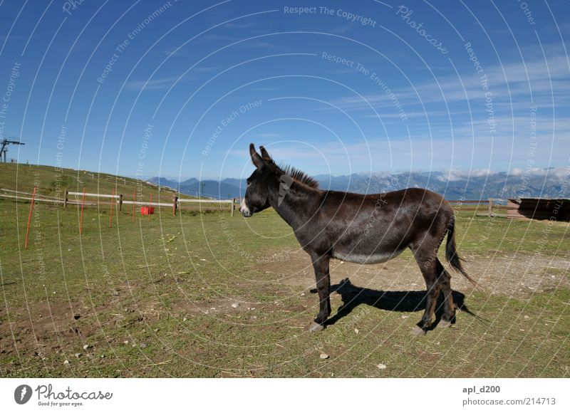 Nature Green Blue Loneliness Grass Mountain Environment Rock Stand Alps Pasture Animal Loyalty Blue sky Donkey Love of animals