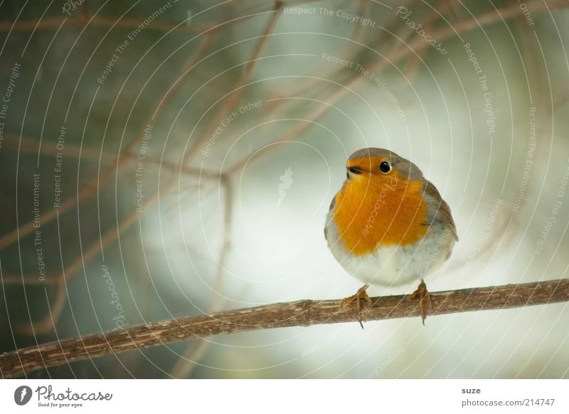 Here's the birdie. Winter Nature Animal Tree Wild animal Bird 1 Sit Wait Small Cute Red Robin redbreast Song Neck Songbirds Twig Beak Ornithology Sing