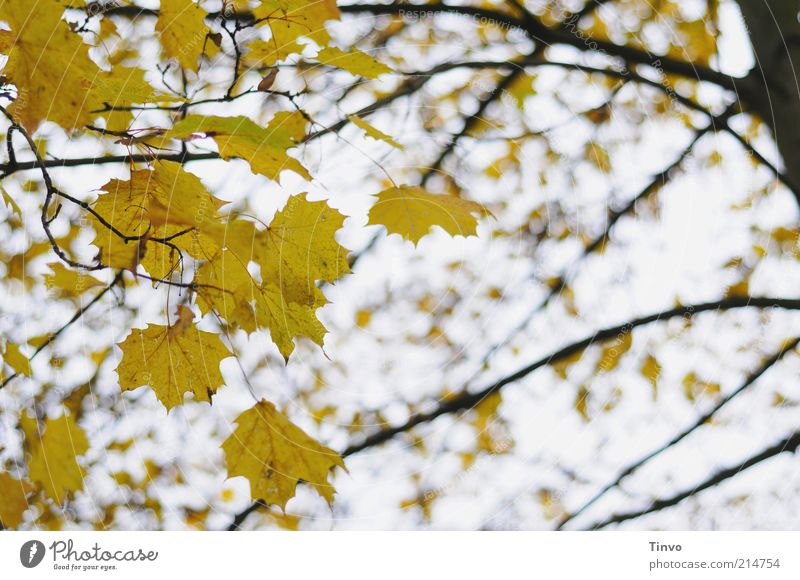 Nature Tree Leaf Black Yellow Autumn Change Transience Seasons Autumn leaves Autumnal Maple leaf Maple tree Autumnal colours Twigs and branches