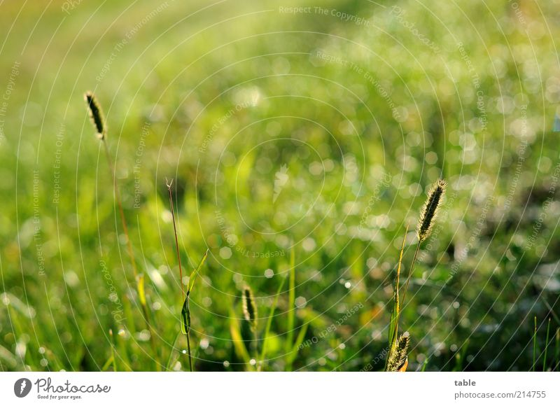 morning green Environment Nature Plant Drops of water Sunlight Beautiful weather Grass Foliage plant Wild plant Meadow Illuminate Growth Glittering Green