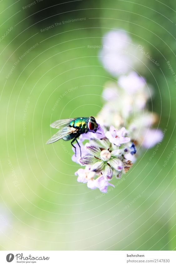 Inconspicuous detail, fly to lavender. Nature Plant Animal Summer Flower Leaf Blossom Lavender Garden Park Meadow Wild animal Fly Animal face Wing 1 Blossoming