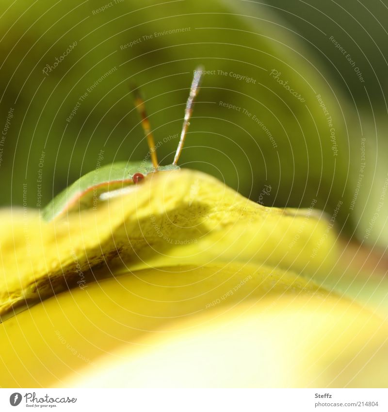 small tree bug hiding on the quince leaf Bug Shield bug covert Funny Looking Yellow Observe Wait Curiosity Hiding place insect eye Quince leaf Animal face Green