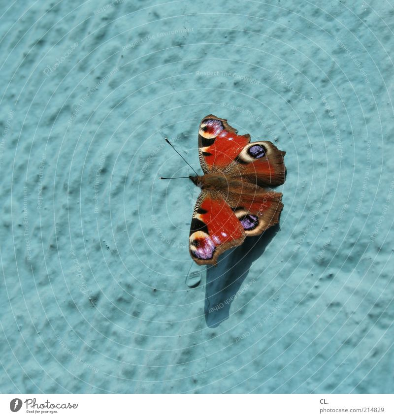 butterfly of the year 2009 Environment Nature Air Beautiful weather Animal Butterfly Wing 1 Blue Red Happiness Peacock butterfly Insect Wall (building) Feeler