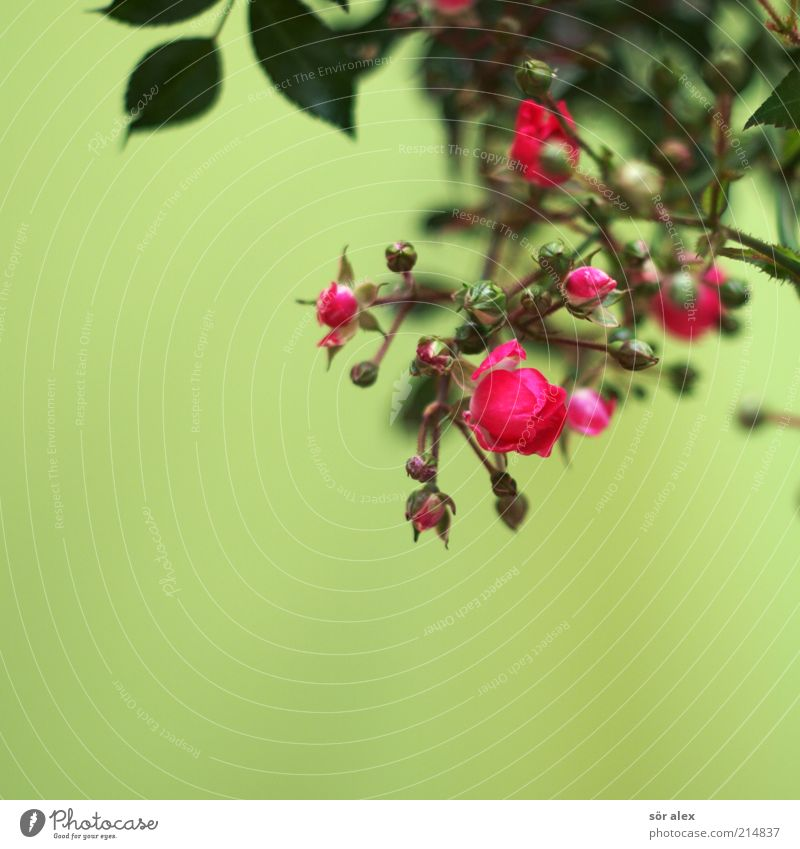 Plant Green Beautiful Colour Flower Leaf Blossom Emotions Pink Decoration Blossoming Transience Romance Rose Kitsch Fragrance