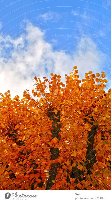 Autumn Environment Nature Plant Air Sky Clouds Climate Weather Beautiful weather Wind Tree Leaf Park Meadow Wood Gold Tall Warmth Brown Multicoloured Yellow