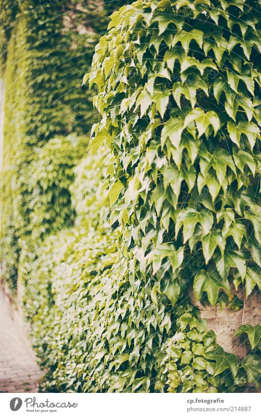 assumption Nature Plant Sunlight Summer Autumn Beautiful weather Foliage plant Creeper Tendril Vine Virginia Creeper Garden Park Deserted Wall (barrier)