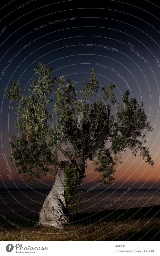 Still Standing Cloudless sky Night sky Sunrise Sunset Beautiful weather Tree Olive tree Ocean Wood Old Blue Brown Yellow Protection Safety (feeling of)