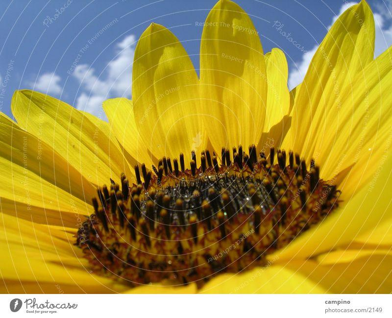 Sunflower2 Summer Yellow Sky
