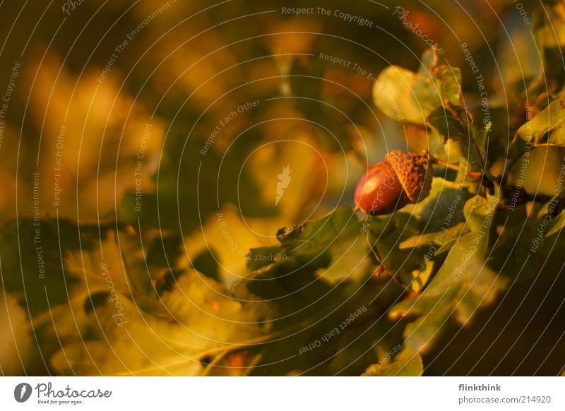autumn is coming Environment Nature Sunlight Autumn Beautiful weather Tree Acorn Oak leaf Oak forest Fruit Bright Brown Yellow Green Change Colour photo