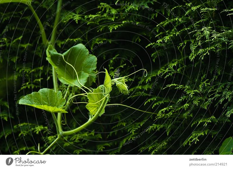 Nature Plant Leaf Dark Environment Growth Bushes Change To hold on Hedge Tendril Foliage plant Pumpkin September Nutrition Agricultural crop
