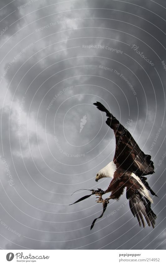 spot landing Nature Sky Storm clouds Bad weather Animal Wild animal Bird Wing Claw 1 Flying Esthetic Elegant Exterior shot Detail Twilight Animal portrait