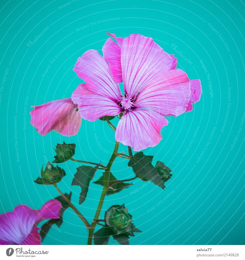 pink splendour Nature Plant Summer Flower Blossom Wild plant Mallow plants Garden Blossoming Esthetic Beautiful Soft Blue Green Pink Fragrance Colour Delicate