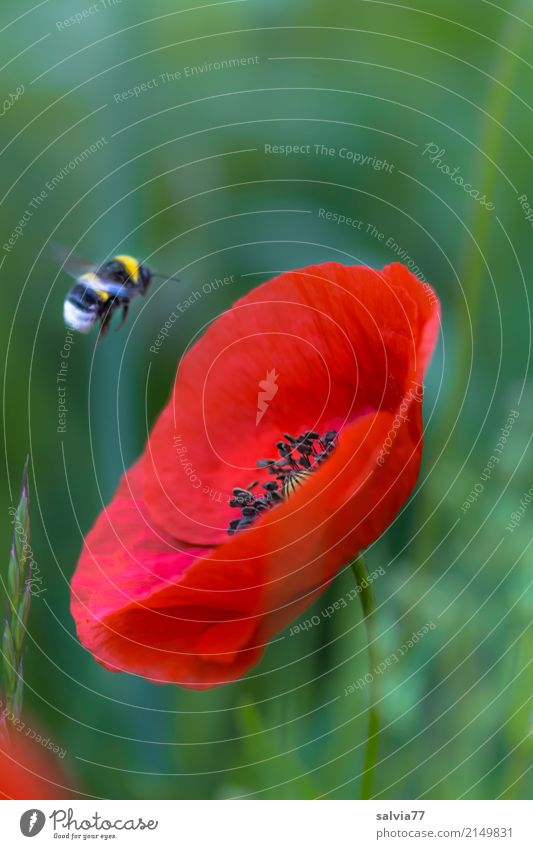 Flight to the poppy Nature Plant Animal Summer Flower Blossom Poppy Corn poppy Field Bumble bee bumblebee Insect 1 Blossoming Flying Green Red Target
