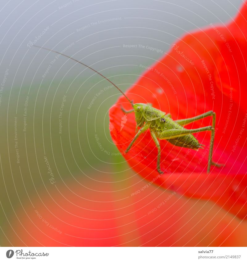 enjoy your meal Nature Sky Summer Flower Blossom Corn poppy Animal Locust Long-horned grasshopper Insect 1 To feed To enjoy Blue Green Red Feeler Delicious
