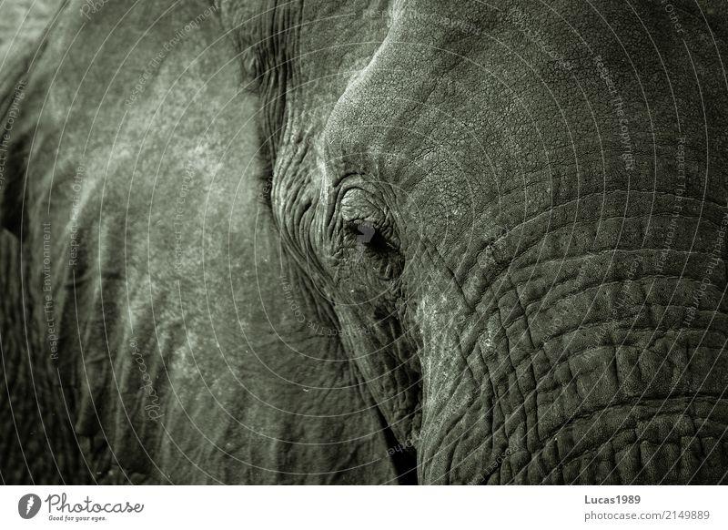 White Animal Calm Black Gray Park Wild animal Power Strong Wrinkle Animal face National Park Eyelash Heavy Elephant Elephant skin