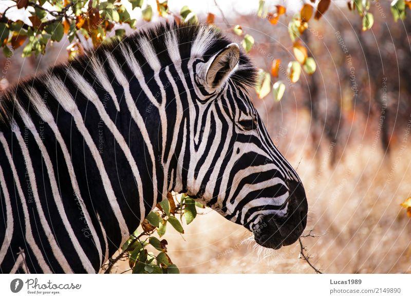 zebra Vacation & Travel Tourism Trip Adventure Far-off places Freedom Safari Expedition Environment Nature Landscape Plant Animal Tree Grass Bushes Leaf