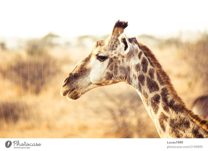 giraffe Vacation & Travel Tourism Trip Adventure Far-off places Freedom Expedition Summer Summer vacation Sun Environment Nature Landscape Sand