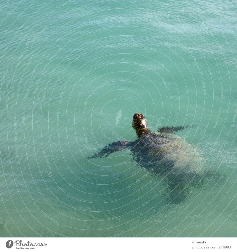 How do you do? Water Ocean Animal Wild animal Turtle Turles 1 Breathe Old Air Colour photo Animal portrait Surface of water Copy Space top Copy Space bottom