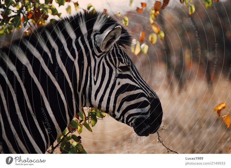 Zebra Stripes Environment Nature Landscape Summer Beautiful weather Plant Bushes Park Meadow Forest Krueger Nationalpark Animal Wild animal Animal face